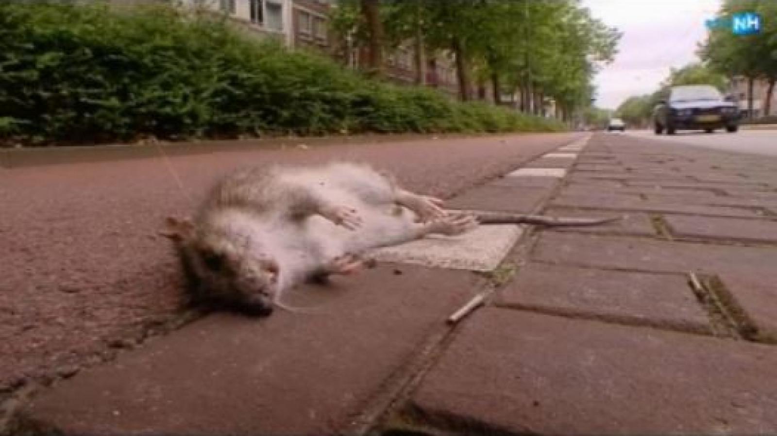 Rattenplaag In Tuin : Rattenplaag op de plutolaan sp de bilt