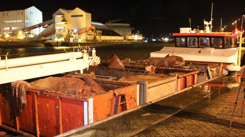 laatste potvissen in harlingen aangekomen