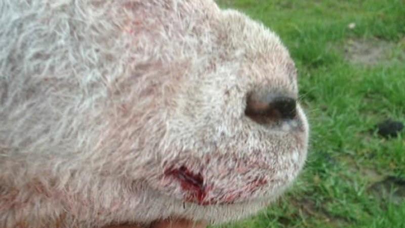 Loslopende hond bijt schapen Oudesluis