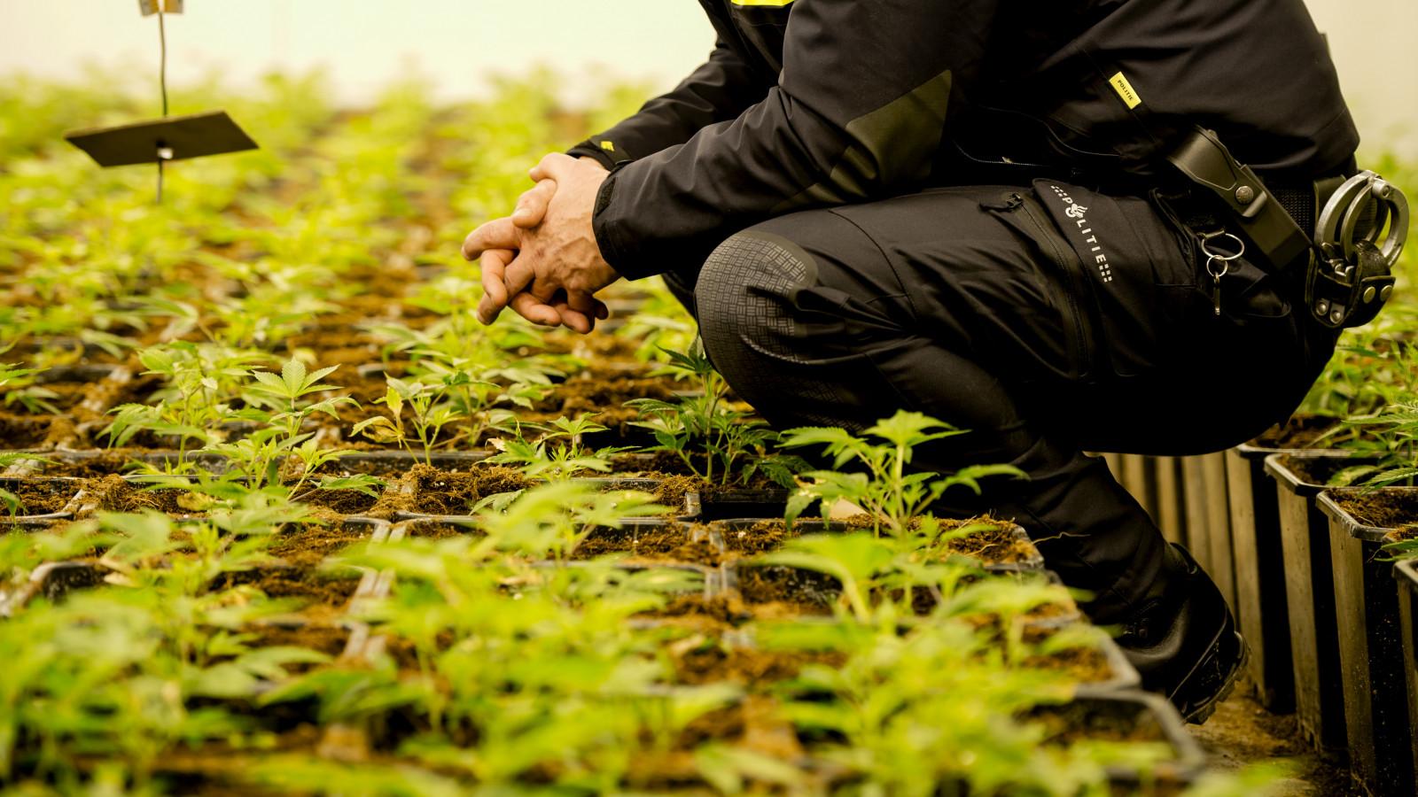 De wietplanten op de foto zijn niet van de aangetroffen kwekerij. Foto: ANP XTRA / Robin van Lonkhuijsen
