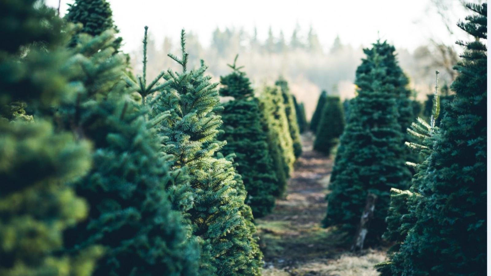 Waarom De Kerstboom Anders Ruikt Dan Vroeger Feiten Fabels En Tips