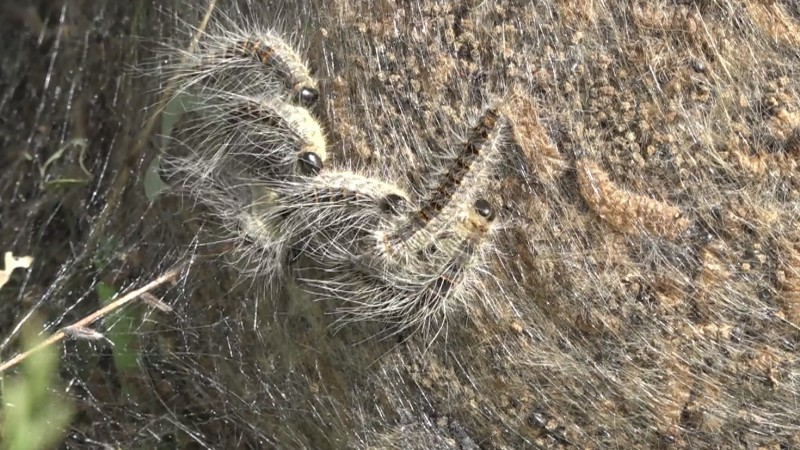Een nest van eikenprocessierupsen