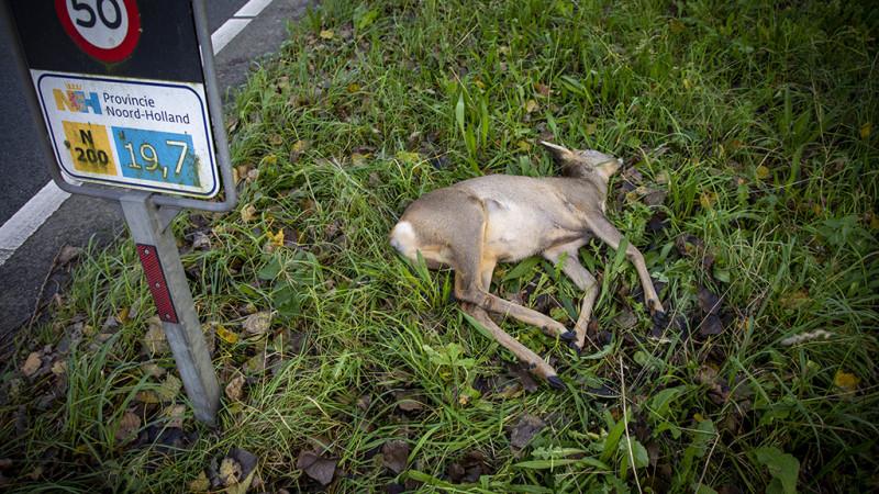 Hert dood bij aanrijding op Zeeweg in Overveen.