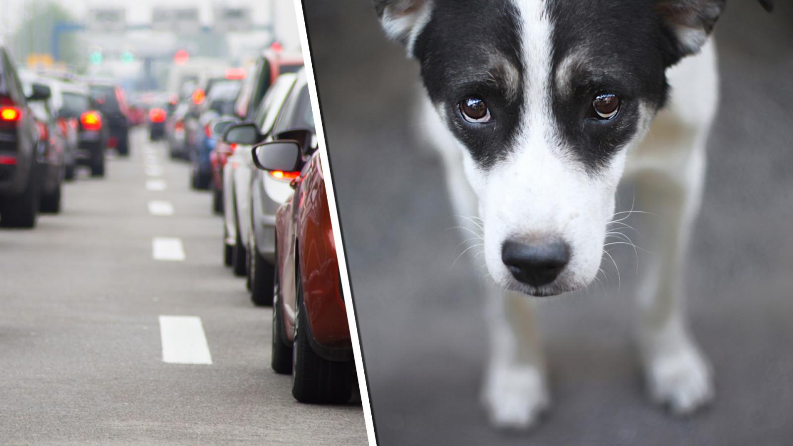 Loslopende honden aangereden op A7 bij Hoorn.