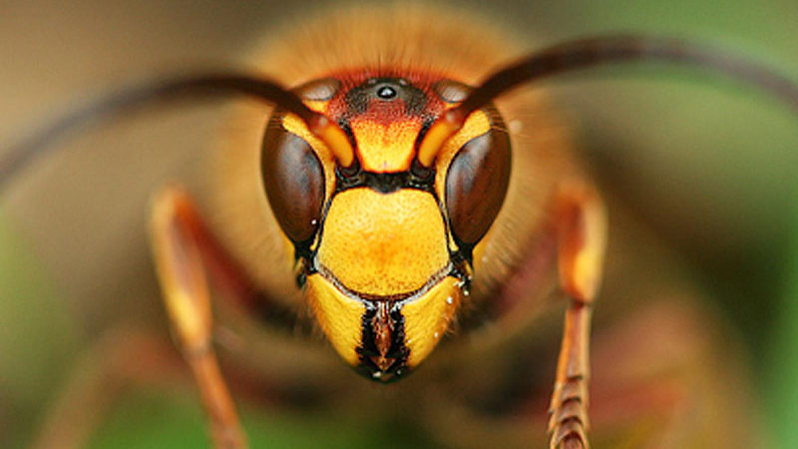 Agressieve wespen in Diemervijfhoek - NH Nieuws